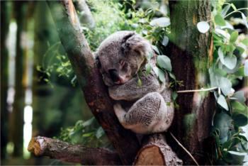 Potential entfalten - Koala